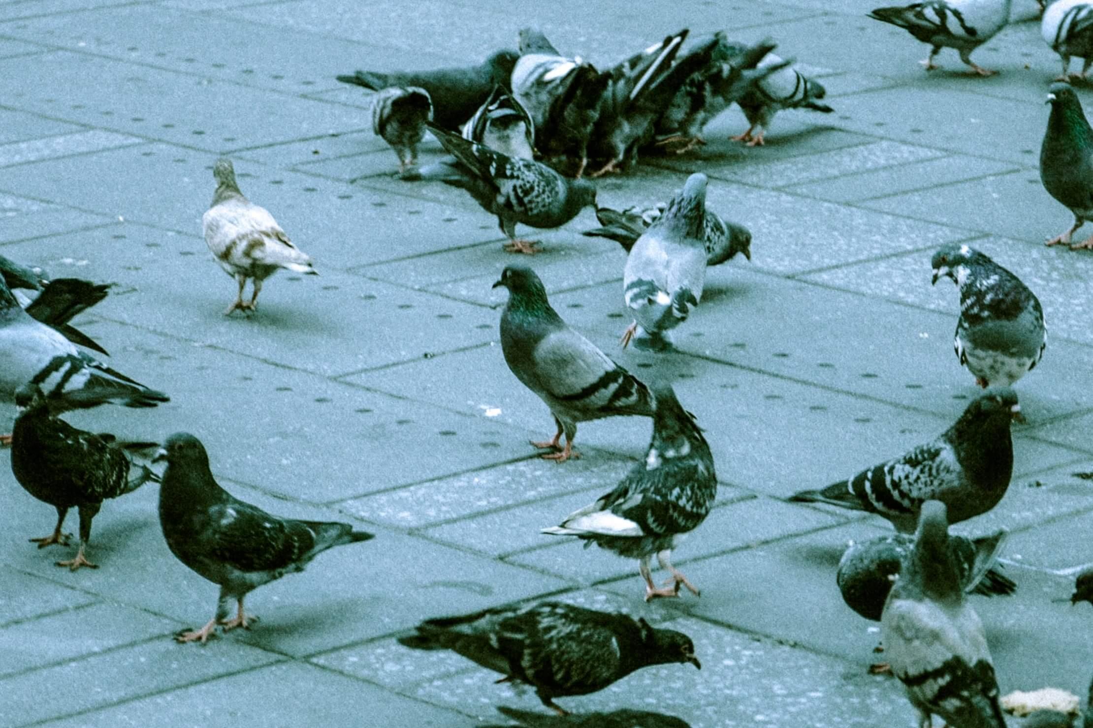 Ne soyez plus pris pour des pigeons