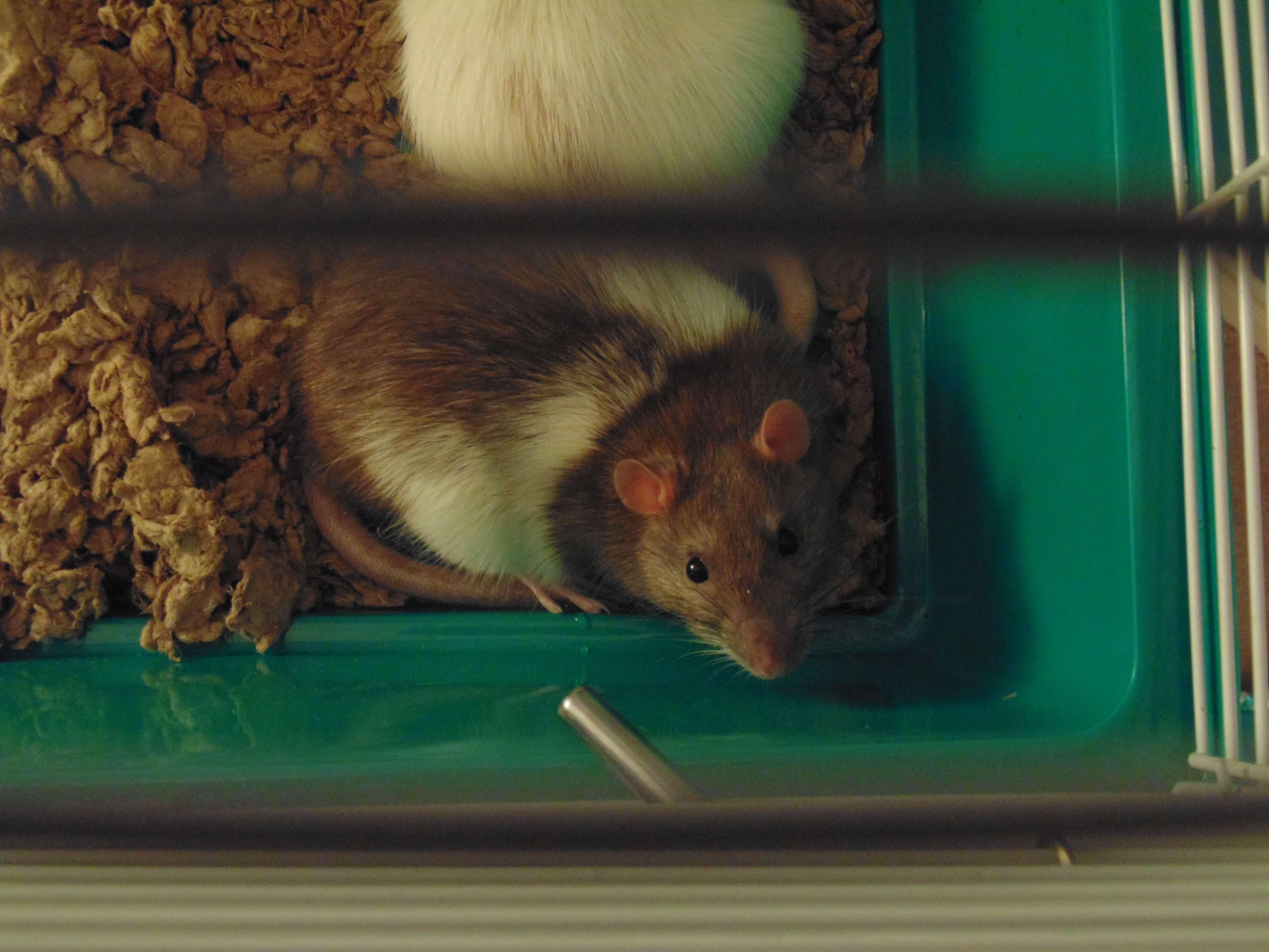 Nouvelle législation sur l'appâtage des rats par l'ANSES